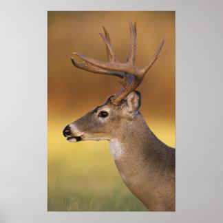 White-tailed Deer, Odocoileus virginianus, Poster