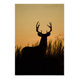 white-tailed deer Odocoileus virginianus) Print