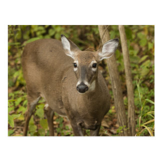 White Tailed Deer Postcard