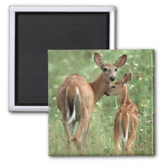 White-tailed Deer with her Spotted Fawn 2 Inch Square Magnet