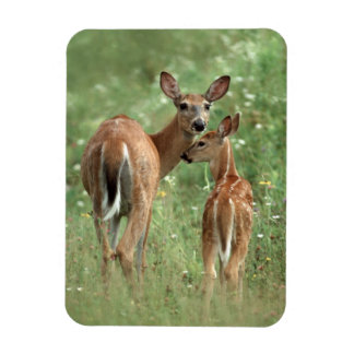 White-tailed Deer With her Spotted Fawn Magnet