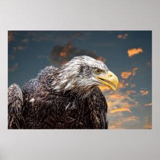 White Tailed Eagle Animals Wild Poster
