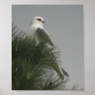 White-tailed Kite Poster