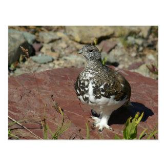 White-tailed Ptarmigan (Lagopus leucurus) Postcard