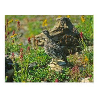 White-tailed Ptarmigan Post Card