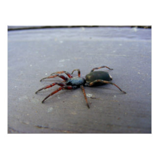 White Tailed Spider Posters