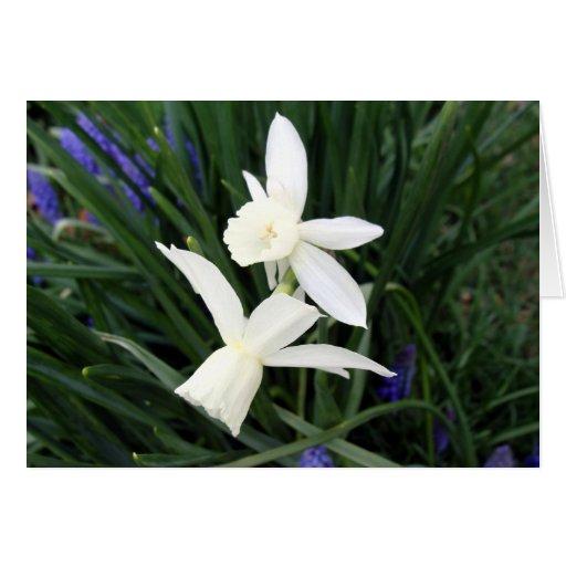 White Thalia Daffodils Greeting Card