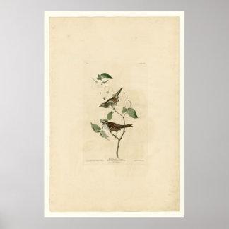 White Throated Sparrow_Audubon Poster
