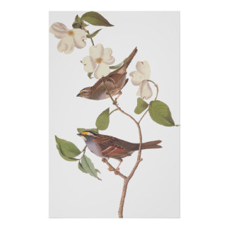 White Throated Sparrow Bird Poster