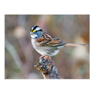 White Throated Sparrow bird pretty photo Postcard