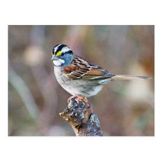 White Throated Sparrow bird pretty photo Postcard
