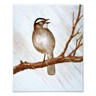 White Throated Sparrow Photo