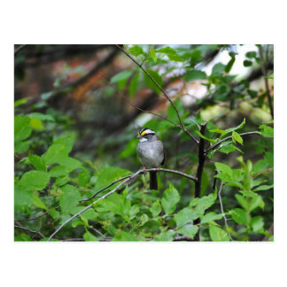 White Throated Sparrow Postcard