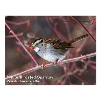 White-throated Sparrow Postcard