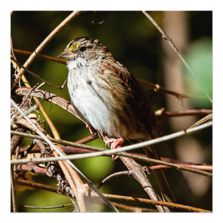 White Throated Sparrow Square Print