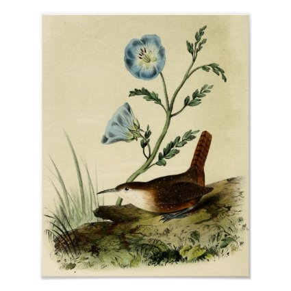 White Throated Wren Posters