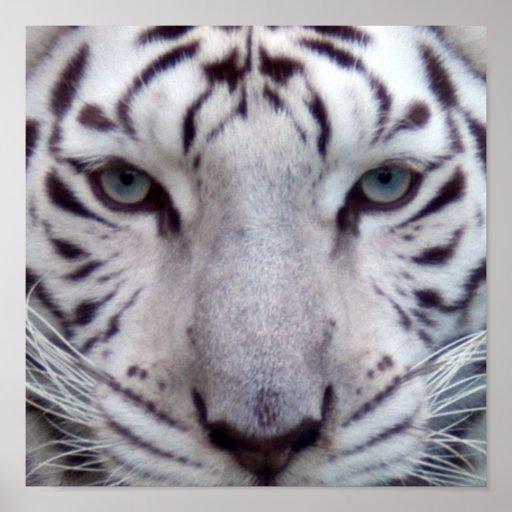 white-tiger2-10x10 poster