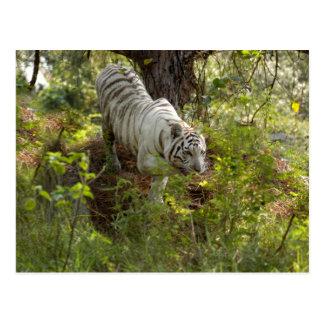 White tiger 010 postcard