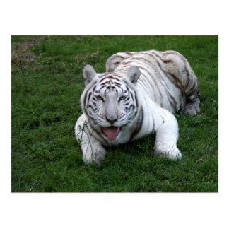 White tiger 014 postcard