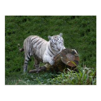 White tiger 015 postcard