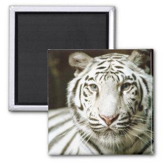 White Tiger 2 Inch Square Magnet