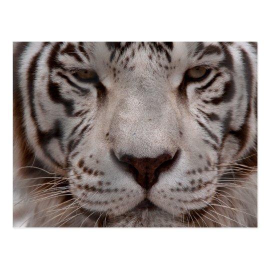 White Tiger 4 Postcard