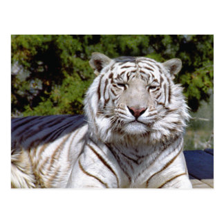 White Tiger 9 Postcard