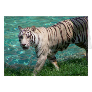 White tiger against blue water walking photograph card