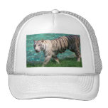 White tiger against blue water walking photograph hats