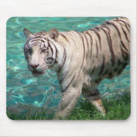 White tiger against blue water walking photograph mouse pads
