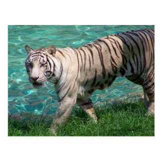 White tiger against blue water walking photograph postcard