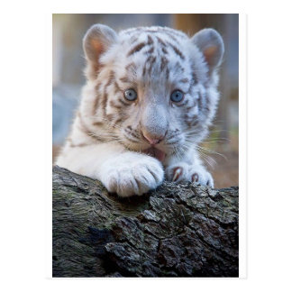 White Tiger Cub Is Paw Licking Good Post Card