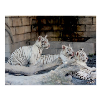 White Tiger cubs (仔 tora of white tiger) Postcard