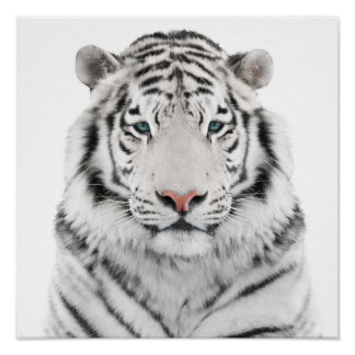 White Tiger Head Poster