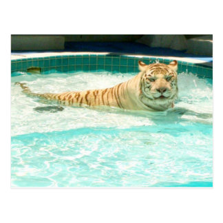 White tiger in pool-Year of the tiger Postcard
