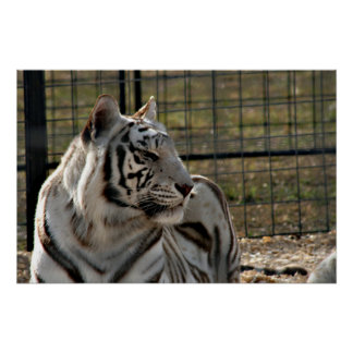 white tiger looking right animal image poster