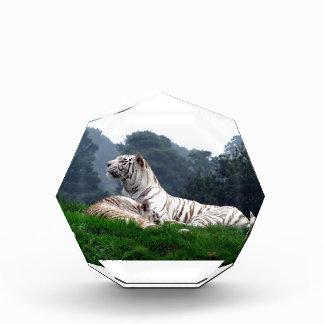 White Tiger Mamma and Cub Award