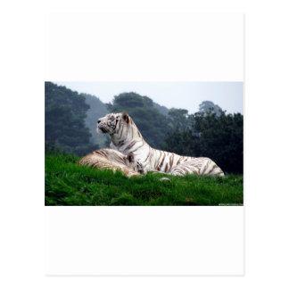 White Tiger Mamma and Cub Postcard