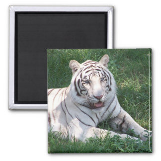 White tiger on green grass vertical frame picture 2 inch square magnet