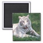White tiger on green grass vertical frame picture fridge magnet