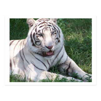 White tiger on green grass vertical frame picture postcard
