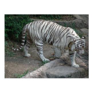 White Tiger Postcard