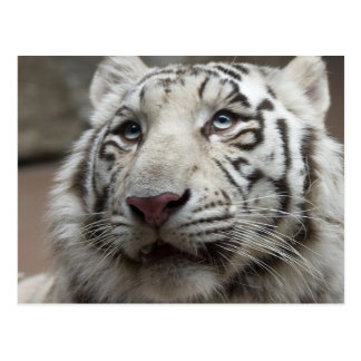 White Tiger Postcard