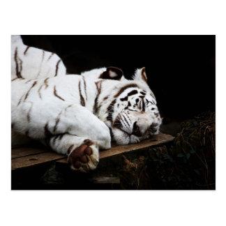 White Tiger Sleeping Postcard