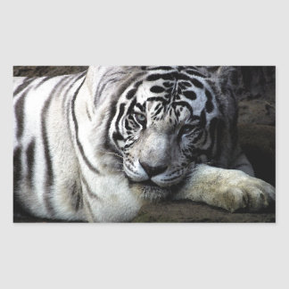 White Tiger Stare Rectangle Stickers
