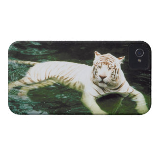 White Tiger Swimming Peacefully iPhone 4 Cover