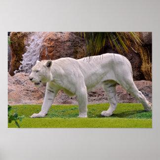 White tiger walking on grass poster
