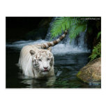 White Tiger Water Postcards