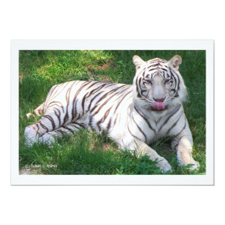 White Tiger with Blue Eyes Licking Nose 5x7 Paper Invitation Card