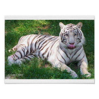 White Tiger with Blue Eyes Licking Nose Poster